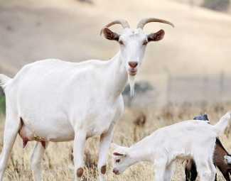 damızlık keçi nasıl seçilir? damızlık keçi nasıl yetiştirilir?