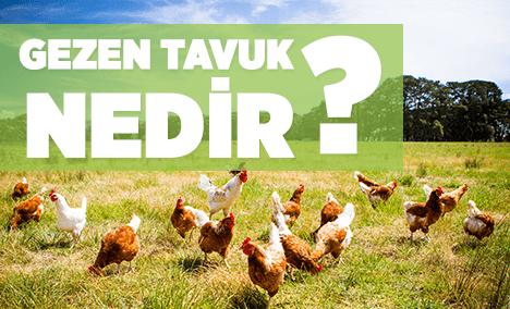 gezen tavuk nedir? gezen tavuk yumurtası nasıl anlaşılır?