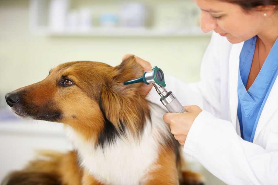 köpeklerde kulak enfensiyonu