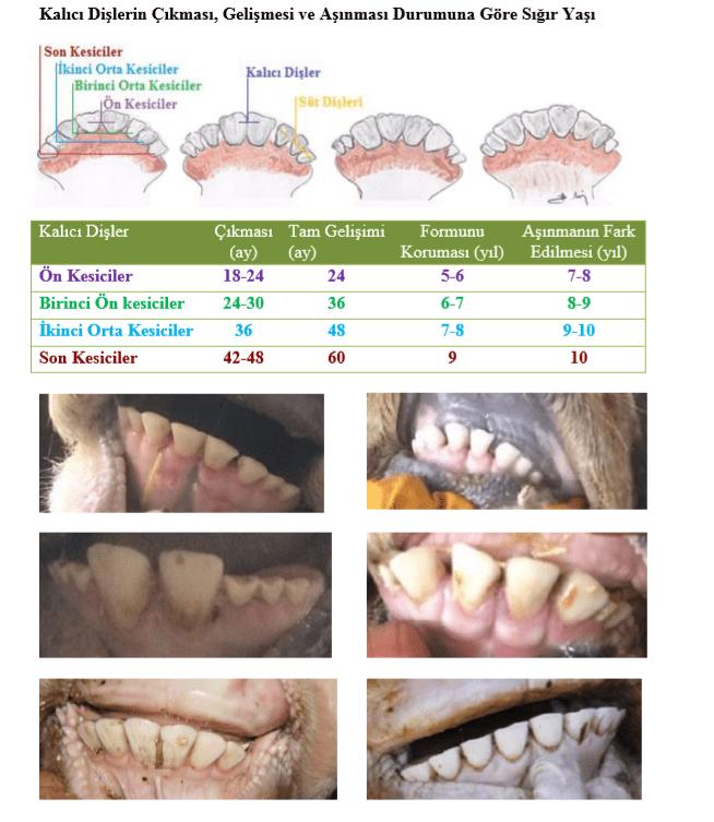 dişlerden yaş bulma